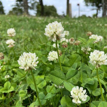 クローバーです。 公園ではよく見る植物です